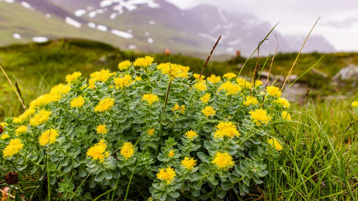 Cette fleur pourrait vous sauver de la dépression