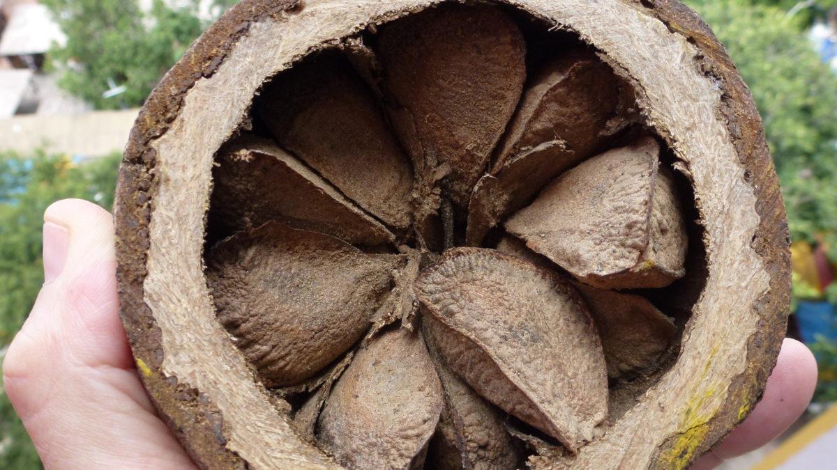 La délicieuse noix… qui peut vite vous intoxiquer