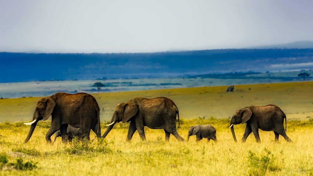 Optimisme pour les éléphants