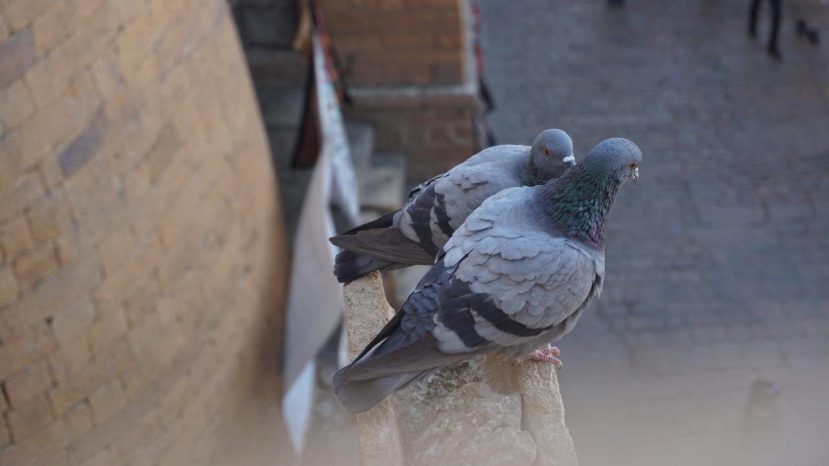 Les pigeons, nids à maladies, vraiment ?