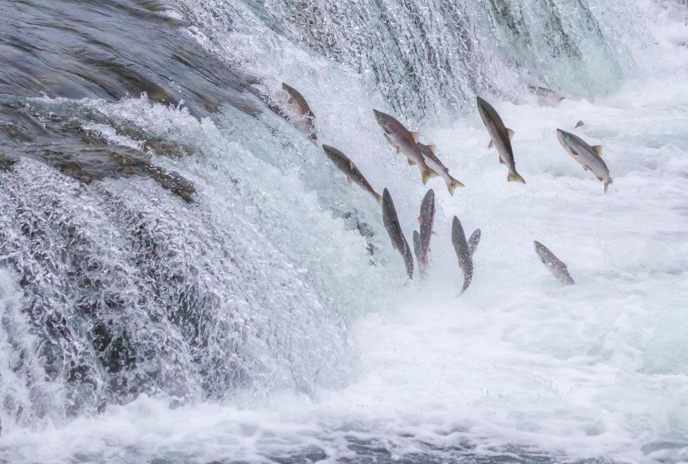 La couleur rose du saumon est bonne pour votre santé